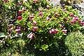 Rhododendron campylogynum kz06.jpg