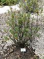 Rhododendron groenlandicum - Palmengarten Frankfurt - DSC02010.JPG