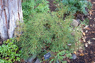 Dunsmuir Botanical Gardens - Rhododendron stenopetalum specimen