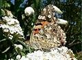 Ribble Link Butterfly7.jpeg