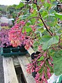 Ribes gordonianum.jpg