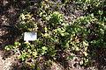 Ribes viburnifolium - UC Davis Arboretum - DSC03422.JPG