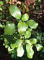 Ribes viburnifolium kz1.jpg