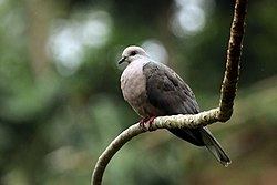 Ring-tailed pigeon (Columba caribaea).jpg