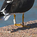 Ringed lesser black-backed gull legs.jpg