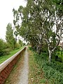 Riverside Silver Birches - geograph.org.uk - 1508425.jpg