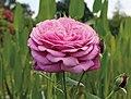 Robert huang rose.jpg
