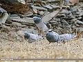 Rock Dove (Columba livia) & Hill Pigeon (Columba rupestris) (51171022141).jpg