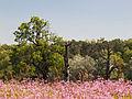 Rogaliński Park Krajobrazowy - firlejkowa kompozycja.jpg