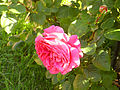 Rosa 'Chartreuse de Parme' Delbard RPO.jpg