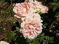 Rosa 'DORbest' F. Dorieux 2007 RPO1.jpg