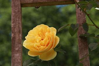 Rosa 'Graham Thomas'.jpg