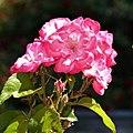 Rosa MR – 588 – BR de Meilland International. 02.jpg