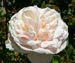 Rosa Madame Alfred Carriere 2