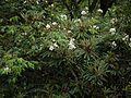 Rosa brunonii (7789381766).jpg