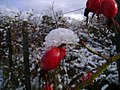 Rosa mosqueta con nieve (2730968459).jpg