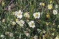 Rosa spinosissima inflorescence (17).jpg