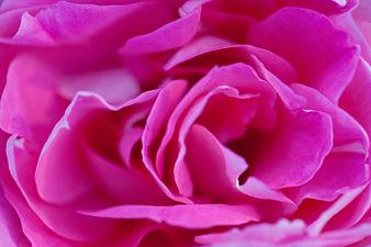 Rose, Carefree Wonder - Flickr - nekonomania (2).jpg