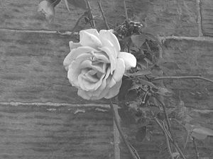 A climbing rose on a wall at Moreton Road, Upt...