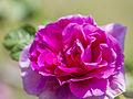 Rose, Pink Surprise, バラ, ピンク サプライズ, (17372224618).jpg