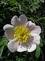 Rose (Rosa) (01).jpg