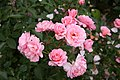 Rose Botticelli 20070601.jpg