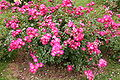 Rose Unknown 096 20070601.jpg