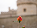 Rose beside Tower of London (9886477553).jpg