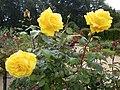 Roses au jardin du thabor a rennes - panoramio (5).jpg
