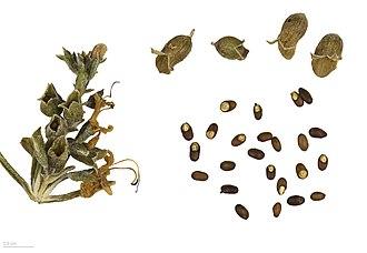 Rosemary - Rosmarinus officinalis – MHNT