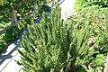 Rosmarinus officinalis Russian River 0zz.jpg