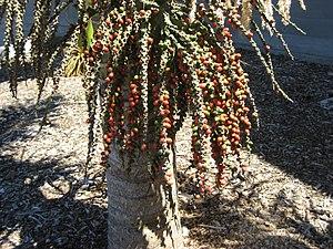 Nikau - Ripe fruit of the nīkau