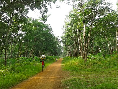 Rubber plantation in the county