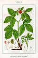 Rubus saxatilis Sturm15.jpg