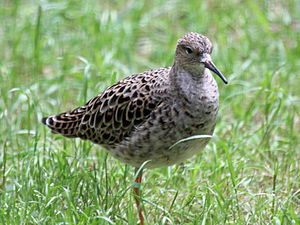 Ruff - Breeding female