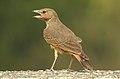 Rufous-tailed Lark Ammomanes phoenicura by Dr. Raju Kasambe DSCN5048 (2).jpg