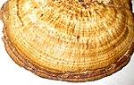 Ruhland, Grenzstr, gegenüber Hausnr. 13, Rötender Blätterwirrling vom Ast einer abgestorbenen Birke, Oberseite, 02.jpg