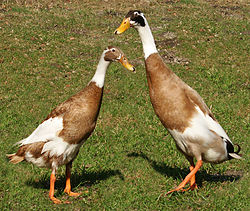 Couple de canards coureurs indiens