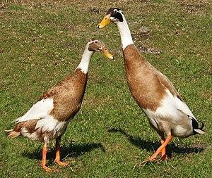 Indian Runner duck - Image: Runner ducks