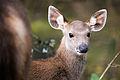 Rusa unicolor, sambar deer - Khao Yai National Park (14498654935).jpg