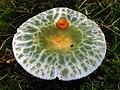 Russula parvovirescens 89305.jpg