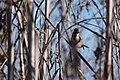 Rustic Bunting (Emberiza rustica) (31705772771).jpg