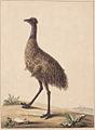 SLNSW 797147 f 07 New Holland Cassowary.jpg