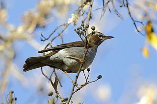 Grey-sided thrush species of bird