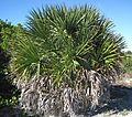 Sabal palmetto (cabbage palm tree) (Cayo Costa Island, Florida, USA) (23967419474).jpg