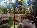 Sabots de vénus et salsapareille sauvage sur un cap de roche (5756824979).jpg