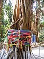 Sacred tree taking wishes - Wat Kham Chanot.JPG