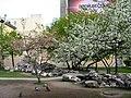 Saint Petersburg. Chinese Garden. Sakura tree2015 05.jpg