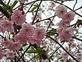 Saint Petersburg. Chinese Garden. Sakura tree2017 04.jpg