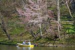 Sakura at Tsukisamu Park (7137267273).jpg